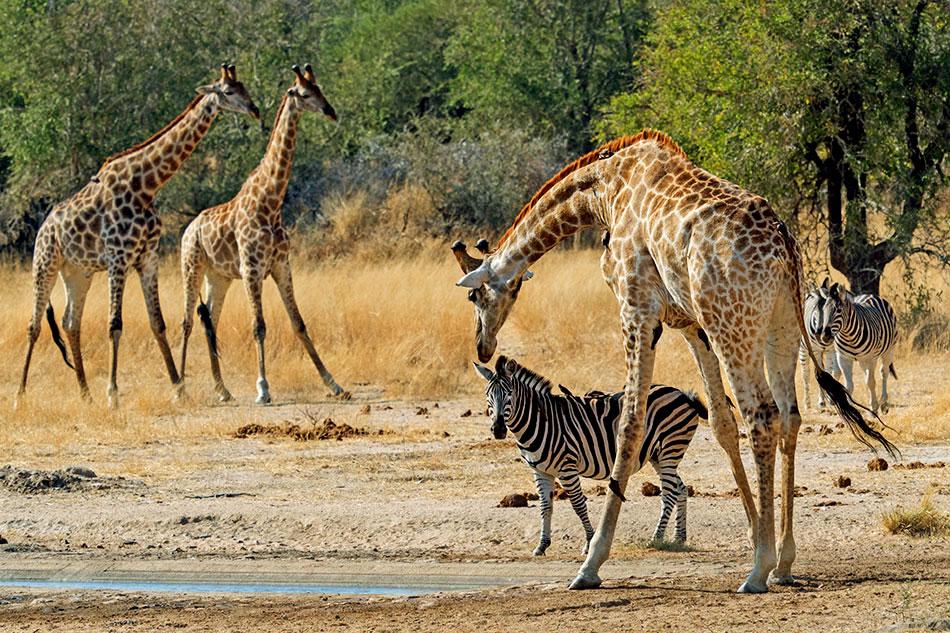 giraffe and a zebra