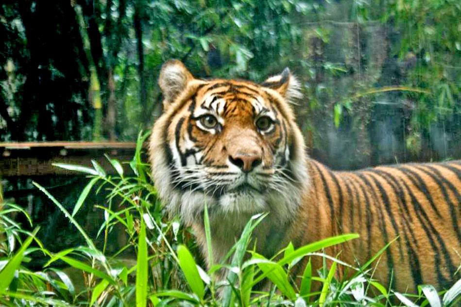 tiger at taronga zoo