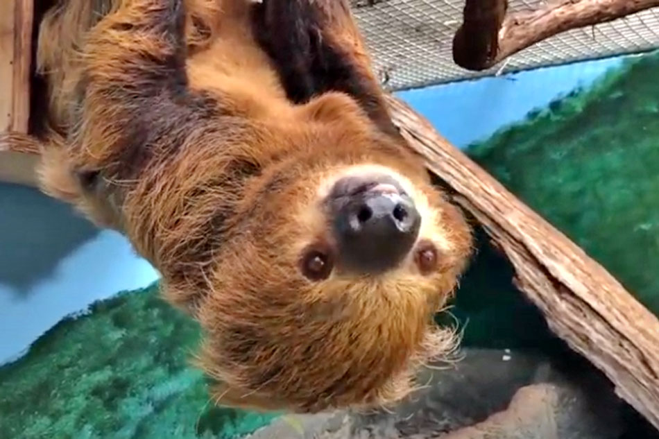 vlad the two toed sloth