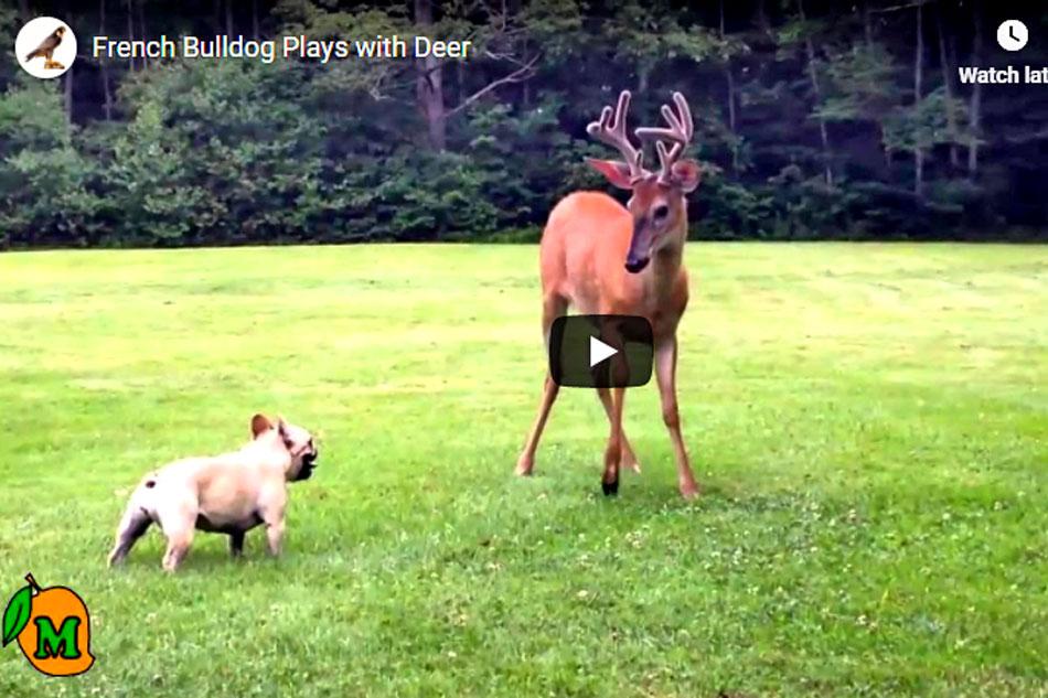 french bulldog and deer