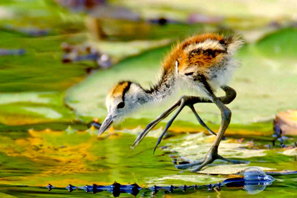 jacana chick on a lilly pad