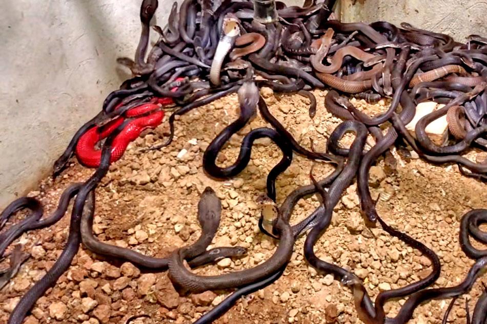 lots of king cobras