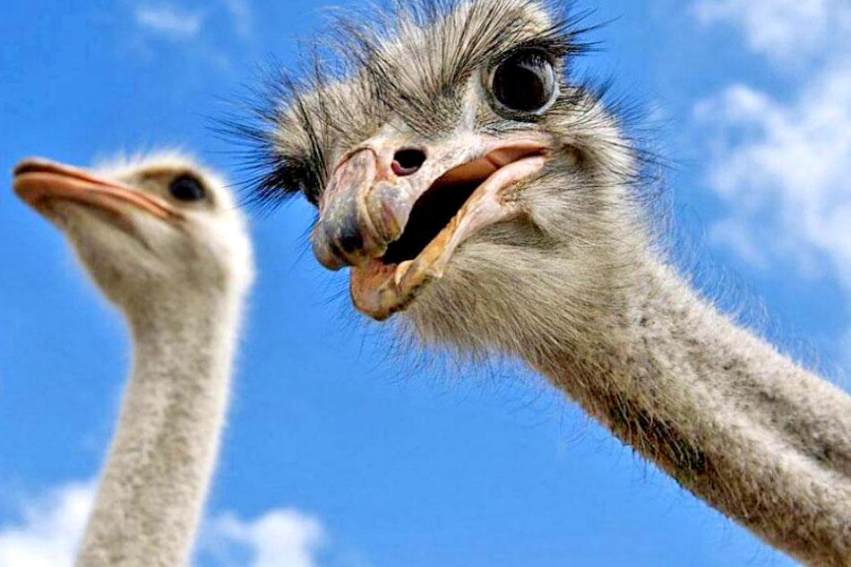inquisitive ostrich