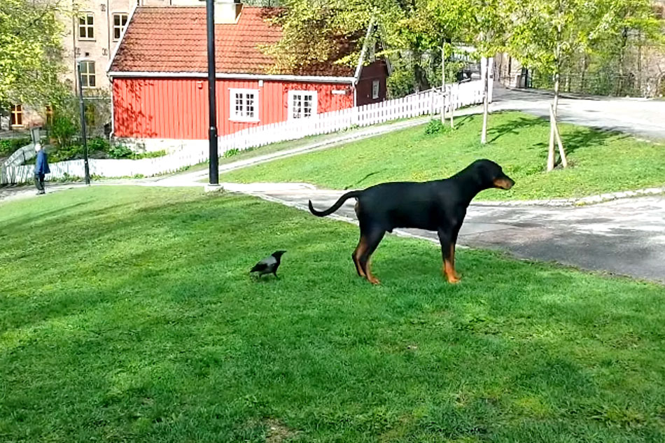 rotweiler and a crow