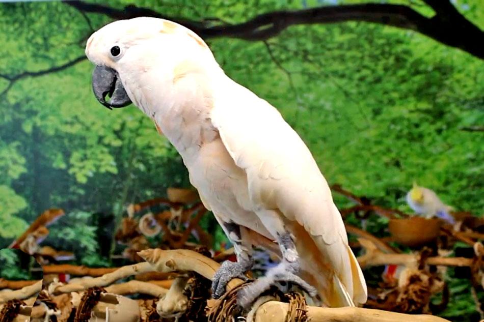 rose coloured cockatoo