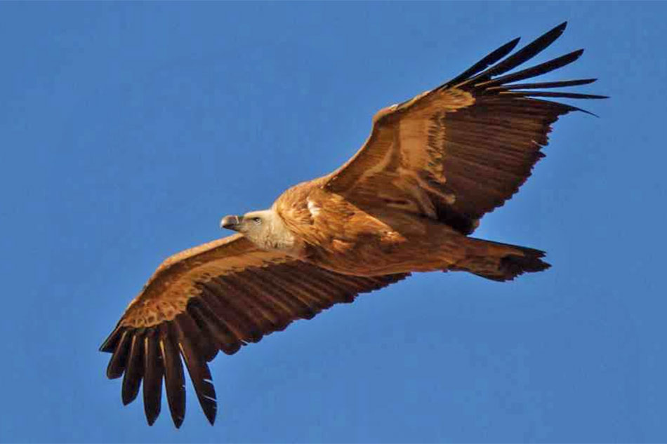 Griffon Vulture Flying