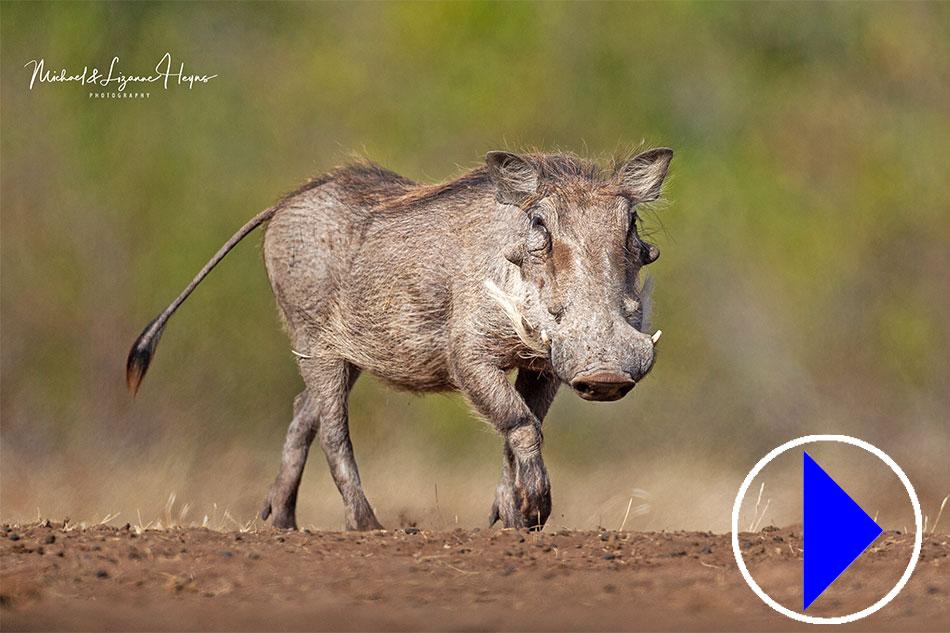 trotting warthog
