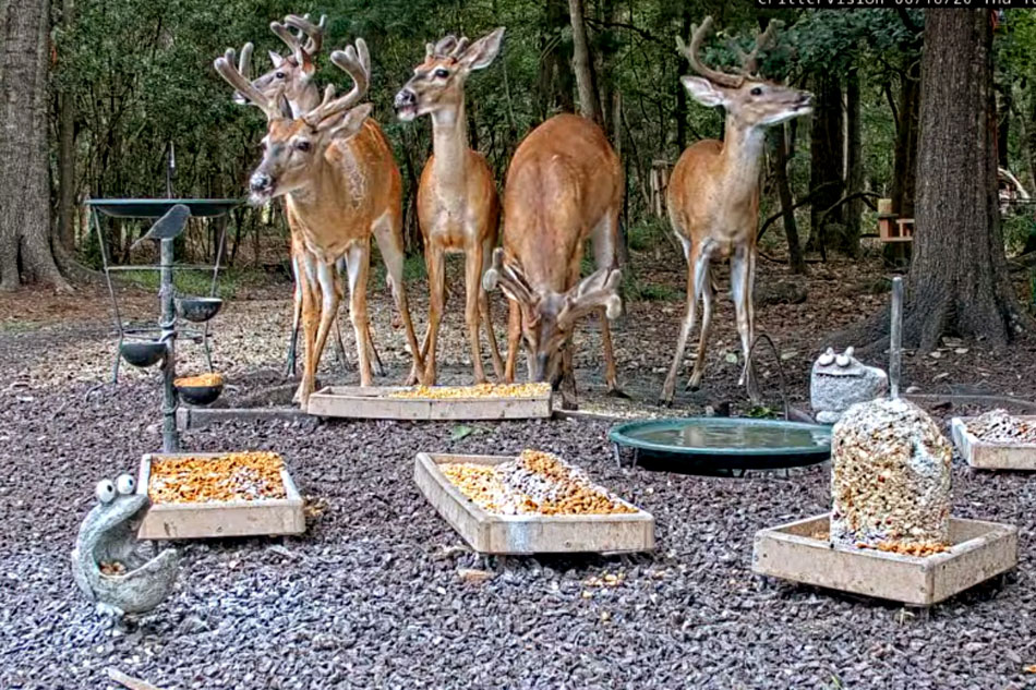 white tailed deer at a feeder