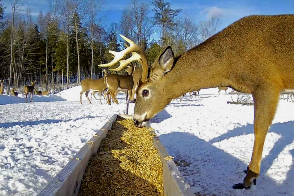 White Tailed Deer feeding