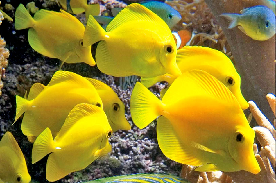 group of yellow tangs